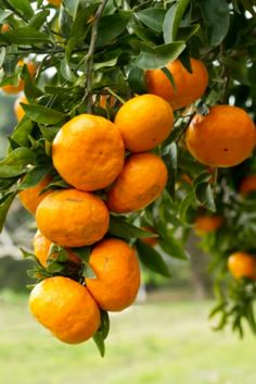 Satsuma Mandarin Oranges....so happy to be growing one of these in our garden!