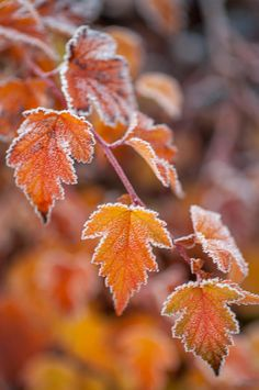 Frost On Orange Autumn Leaves by Jenny Rainbow Orange Leaf, Orange Color, Autumn Photography, Fine Art Photography, Autumn Trees, Autumn Leaves, Art Prints For Home, Fine Art Prints, Frost