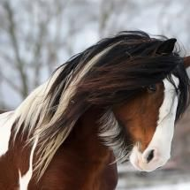 gypsy vanner horse: name rose. Most Beautiful Animals, Beautiful Horses, Beautiful Creatures, Anglo Arabe, Cheval Pie, Arte Equina, Animals And Pets, Cute Animals, Gypsy Horse