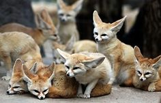 fennec foxes,,,,too cute,,,