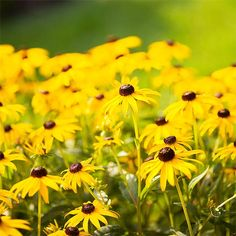 The Best Perennials for Your Yard: 'Goldsturm' Black-Eyed Susan - blooms midsummer to fall. Another great in the garden and for cut arrangements.