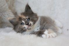 NL* Titran's Umiko 5.5 weeks old female kitten
