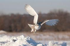 Montana Snowy Owl 2
