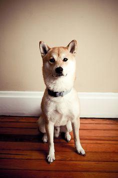 shiba inu looks like Really Cute Puppies, I Love Dogs, Baby Puppies, Dogs And Puppies, Doggies, Japanese Dogs, Most Beautiful Animals, Shiba Inu, Animal Photography