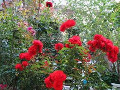 Gardening:Rose Garden Tips And Ideas Gardening Landscape Plans Garden Seating Planting Plan Climbing Rose Flower Yard Decor Small Backyard Landscaping Layout Design Ideas (1) Rose Garden Tips and Plans Ideas : How to Grow a Rose Garden in Pots and Other Flower Container