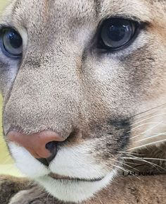 7 ideas de Ginetas   animales, felinos, animales exóticos
