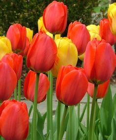 """Tulip """"Parade""""  Stronger than Apeldoorn, this award-winner, circa 1951, has huge signal-red flowers with yellow-edged, black bases. Bulb size: 12 cm/up. Mid-April to May. 24"""". HZ: 3-7."""