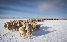 "A flock of Targhee range ewes at Jondaryan Station Ranch in Eastend, Saskatchewan, Canada.  They adapt well to whatever the season brings.  With an average of just 12"" annual rainfall, they have good hard grass, but not much of it.  Ewes raised in these conditions develop an excellent foraging ability and will thrive where other breeds may fail."