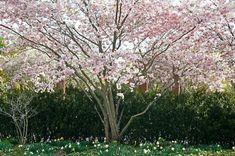 Höjd m. Deciduous Trees, Prunus, Garden Trees, Garden Inspiration, New Homes, Flowers, Garden, Tree Structure, Lawn And Garden