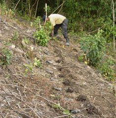 Marvin is one of the latest farmers in the Cangrajel to give up slash and burn. Here he is planting out his steep sloping fields with the Inga seedlings he's raised from the seed we supplied.