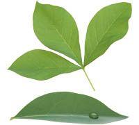 Lenagold - Клипарт - Зеленые листья 2