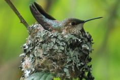 Everything You Need to Know About Hummingbird Nests: Hummingbird nests are carefully constructed for strength and flexibility.