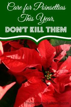 How to care for Poinsettias - Tips for Keeping Your Poinsettias Alive. From premeditated leftovers.com. As a plant the poinsettia is nice with lots of leaves and gets bushy! Good backdrop in a pot for annuals.