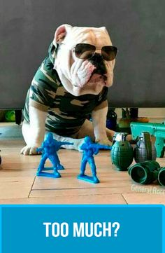 The major breeds of bulldogs are English bulldog, American bulldog, and French bulldog. The bulldog has a broad shoulder which matches with the head. Baby Dogs, Pet Dogs, Dog Cat, Doggies, Animals And Pets, Cute Animals, Bully Dog, Real Dog, Bulldog Puppies