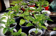 Growing Peppers from Seed for Beginners - Cayenne Diane