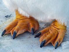 Gentoo Penguin feet