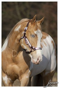 American Paint Horse western quarter paint horse paint pinto horse Gypsy Vanner Indian pony solid tovero overo frame sabino