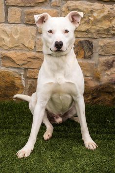 Meet Snow, a Petfinder adoptable Retriever Dog | Carrollton, TX | Hey there, look at me I am so friendly that if you adopt me you will not need any of those human...