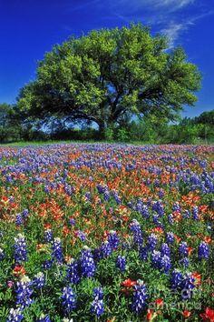 Texas Beautiful Texas! I love the beautiful bluebonnets & Indian paint brush wildflowers