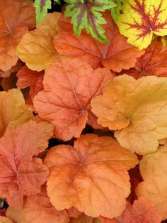 """Heuchera Southern Comfort  Coral Bell, Alum Root  Type: Perennials,Groundcovers  Height: Short 14"""" (22"""" in flower) (Plant 10-18"""" apart)  Bloom Time: Early Summer to Late Summer  Sun-Shade: Full Sun to Mostly Shady  Zones: 4-9   Find Your Zone  Soil Condition: Normal, Acidic  Flower Color / Accent: White / White"""
