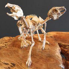 EatonNott Skeletal Mutation - Rabbit