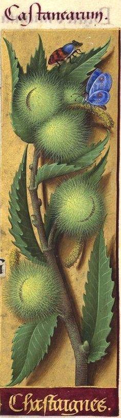 Chastaignes - Castanearum (Castanea vulgaris Lam. = châtaigne) -- Grandes Heures d'Anne de Bretagne, BNF, Ms Latin 9474, 1503-1508, f°124r