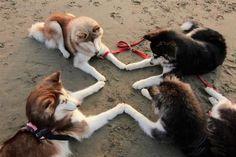 Husky dogs playing
