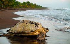 Meeresschildkröte am Strand des Tortuguero Nationalpark, Costa Rica