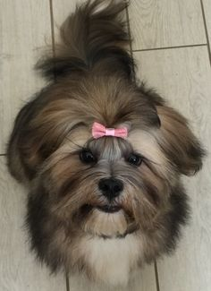 Lhasa Apso… got dirty in mud… mom got back at me with the pink bow!