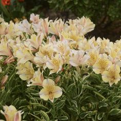 Alstroemeria  FABIANATM | Save on the largest selection of flowers and groundcovers for your landscape, buy online - shipped from grower to your garden
