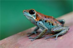 "Strawberry poison arrow frog (Oophaga pumilio) ""Ryan"" morph"