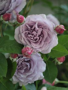 "Rose "" Novalis ® "" , (KORfriedhar) , Tim Hermann Kordes (Germany, 2004) , ( "" Poseidon "" )"