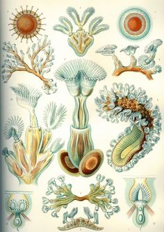 Lithograph by Ernst Haeckel and Adolf Giltsch Plate 23 from Kunstformen der Natur. This is one of the 100 pop science biology illustrations that were published from 1899 – 1904 in Leipzig by Ernst Haeckel through Verlag des Bibliographischen Instituts. Arte Coral, Coral Art, Illustration Photo, Botanical Illustration, Illustrations, Art Et Nature, Nature Prints, Vintage Prints, Antique Prints