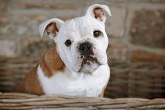 British Bulldog Puppy  © Ronya Galka