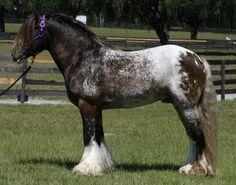 INDIGO'S ROYAL KNIGHT,  2002 Black/White Spotted w/ Blanket Gypsy Stallion