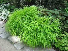 Hakonechloa Macra, Hakone Grass, Japanese Forest Grass, Shade grasses, part shade grass, full shade grass, Japanese grass