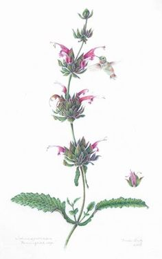 Nina Antze | American Society of Botanical Artists