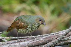 Female Satin Bowerbird at Echo Point, Katoomba (photo by Hasyimi's Bird Photos)