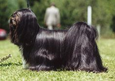 Lhasa Apso, Puppy Love, Puppies, Horses, Canterbury, Cats, Doggies, Animals, God