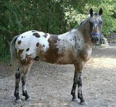 appaloosa. The brown belly band is a cool marking.