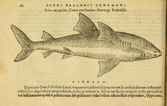 Petri Bellonii Cenomani De aquatilibus, - Biodiversity Heritage Library - 1553
