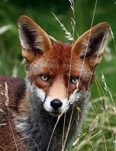 A Fox in my Garden by Richard Mills
