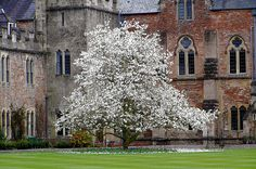 Magnolia Tree in the grounds of the Bishops Palace in Wells, Somerset.The Palace was built in 1225 for Bishop Jocelin Trotman the first Bishop of Bath & Wells. Magnolia Trees, Blossom Trees, Flowering Trees, Shrubs, Outdoor Spaces, Roots, Christmas Tree, Lights, Wells Somerset