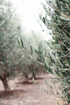 olive grove//