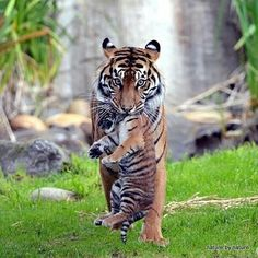 A Tiger cub and its mom at the SF Zoo Zoo Photos, Wild Animals Photos, Animals And Pets, Baby Animals, Cute Animals, Exotic Animals, Small Animals, Big Cat Family, Tiger Moms