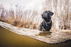 We tested lil @bo_goes DNA. This fella is 25% Labrador Retriever 12.5% American Staffordshire Terrier 12.5% Border Collie 12.5% Mastiff and 37.5% random breed groups (Asian Hound Guard etc...) Dude is a straight mutt. . . . . . . . . . #bogoes #labmixpuppy #ruffwear #mydogismy #myilypet #dog #puppy #adventurepup #aquatech_imagingsolutions #blacklabsmatter #orvisdogs #nikontop #nikonphoto #nikond500 #tokina1116 #dogsofinstagram #ynotoutdoors #optoutside #camp4pix