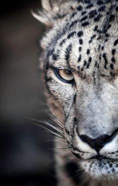 Snow leopard poker face by Paul E.M. on Flickr