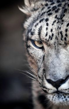 Snow leopard poker face by Paul E.M. on Flickr