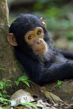 Chimpanzee (Pan Troglodytes) Baby Against a Tree, Endangered, Gombe Stream Nat'l…