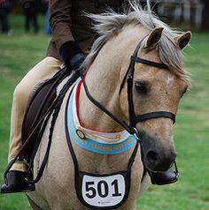 Champion Welsh First Ridden or Leading Rein Pony (Kintara Gypsy Cobs) Tags: royal pony welsh 2010 royalmelbournehorseshow summerroyal